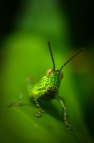 grasshopper by Arubam Meitei - Animals Insects & Spiders ( nature, green, insect, closeup, grasshopper,  )