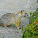 Russet ground squirrel