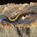Two-coloured flatworm
