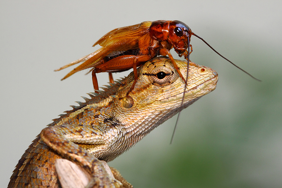 cease-fire by Lessy Sebastian - Animals Insects & Spiders ( no war, lizard, cricket, smile, cute )