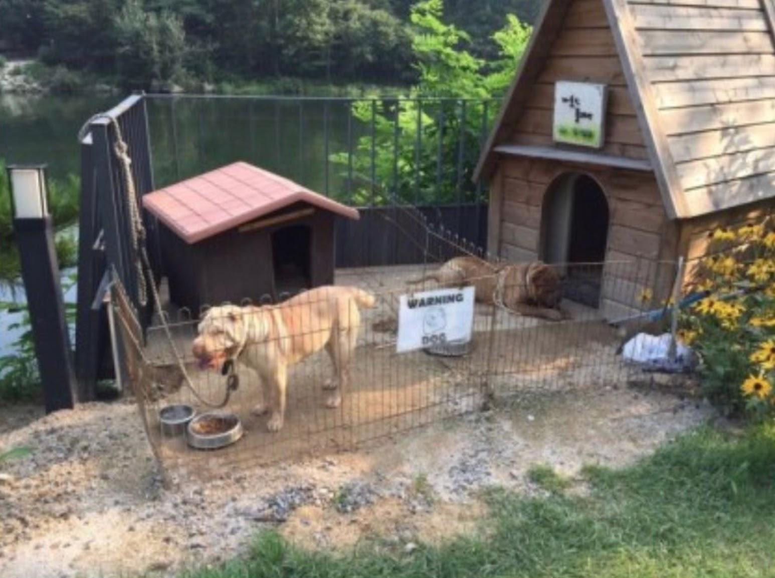 gdragon sharpei dogs 7