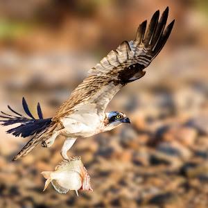 Osprey Carrying Fish Against Beach Background.jpg