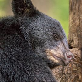 Sleepy time bear  by Ernie Page - Animals Other Mammals ( bear, blackbear, nature, bear cub, wildlife, animal )