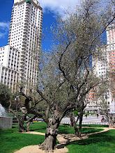 Photo: Olive trees