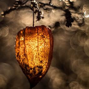 lantern by Eden Meyer - Nature Up Close Other plants ( lights, lantern, garden, bokeh, flower,  )