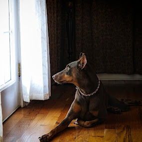 Gracie by Beth Ann - Animals - Dogs Portraits ( window, pet, dog, light, doberman, #GARYFONGPETS, #SHOWUSYOURPETS,  )
