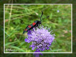 Photo: Zygène Transalpine (Zygaena transalpina) sur Knautie des bois (Knautia maxima)