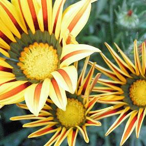 by Gautam Tarafder - Flowers Flowers in the Wild (  )