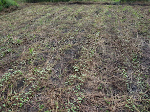 Photo: 2011年11月2日,蕎麥田裡,蕎麥冒出頭,小小的葉子,一排一排的綠色