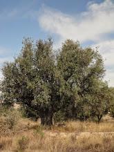 Photo: Flora guaret: Olivera (O. europaea )