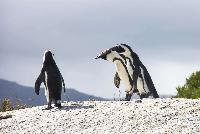 Penguins in Africa? Yes. You can spot them along the Western Cape of South Africa.
