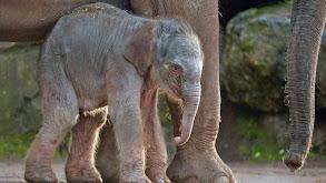Baby Elephant thumbnail