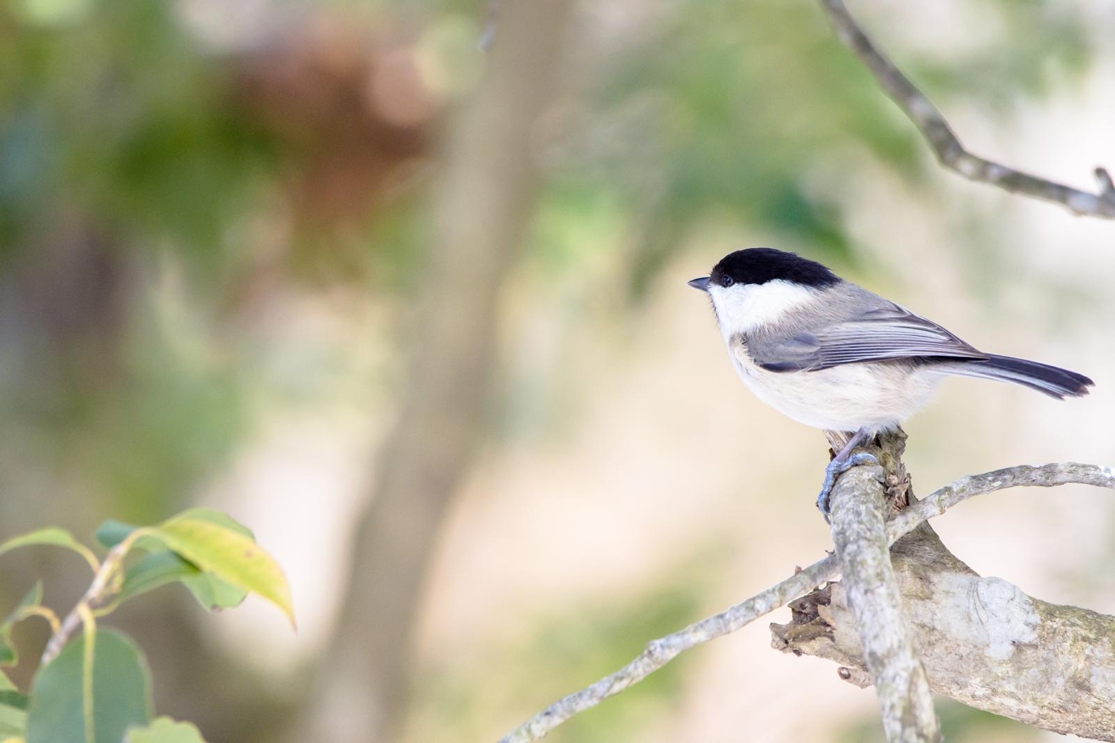 Photo: 「ピュアな横顔」 / Unselfish profile.  目の前を横切る 君の横顔 その真っ直ぐなまなざしが 僕の心を魅了する  Willow tit. (コガラ)  Nikon D7200 SIGMA 150-600mm F5-6.3 DG OS HSM Contemporary  #birdphotography #birds #kawaii #nikon #sigma #小鳥グラファー  ( http://takafumiooshio.com/archives/766 )