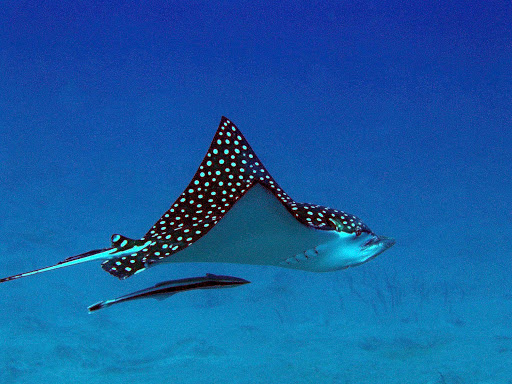 A spotted eagle ray swims in the warm Caribbean waters of Statia National Marine Park surrounding the island of St. Eustatius.