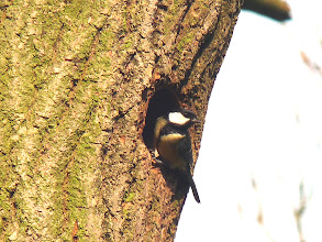 Photo: Great Tit in Northcliffe Wood.