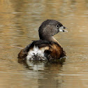 Pied-billed Grebe (Breeding Adult)