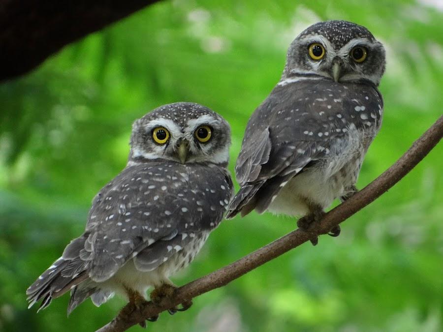 spotted owlet... by Sanket Warudkar - Animals Birds ( bird, owlet, canon600d, nature, spotted owlet, india )