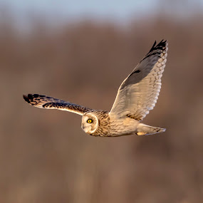 Short-eared owl in flight by Debbie Quick - Animals Birds ( flight, raptor, debbie quick, owl, shawangunk grasslands, nature lovers, natures best shots, debs creative images, birds of prey, animal photography, bird photography, bird, nature photography, wildlife, predator, nature, short-eared owl, new york, national geographic, walkill, wildlife photography, flying, animal, wild, hudson valley )