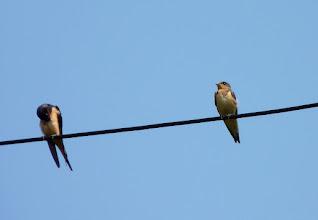 Photo: Barn Swallows