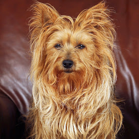 Yarra by Dave Hollub - Animals - Dogs Portraits ( proud puppy, australian terrier, dog, yarra, bad hair day, Dogs, Cats, Pets, Rabbits, Animals, pet, livestock, cows,  )