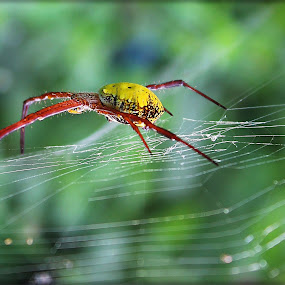 Spider by Simon Nany - Animals Insects & Spiders ( macro, spider, insect )