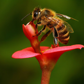 Bee1 by Agus  Sudarmanto - Animals Other