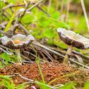 Dung Mushroom