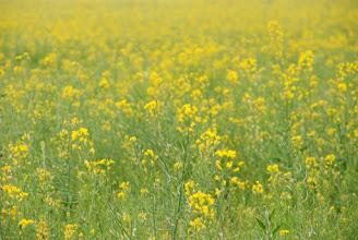 Photo: Поле рапса - растения, используемого для производства биотоплива