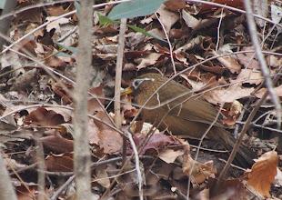 Photo: 撮影者:粕谷和夫 ガビチョウ タイトル:集団で採餌するガビチョウ 観察年月日:2014年2月13日 羽数:10羽+ 場所:小宮公園 区分:外来鳥 メッシュ:拝島7A コメント:。残雪の多い小宮公園でガビチョウが目立った。10羽以上の集団が雪の無い所で落ち葉をひっくり返して採餌していた。