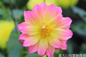 Photo: 拍攝地點: 梅峰-溫帶花卉區 拍攝植物: 大理花 拍攝日期: 2014_08_18_FY