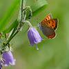 Lycaena phlaeas 紅灰蝶