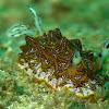 Tessellated Nudibranch