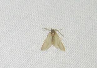 Photo: Acentria ephemerella     Lepidoptera > Pyralidae