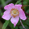 Wild Prickly Rose