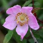 Wild Prickly Rose