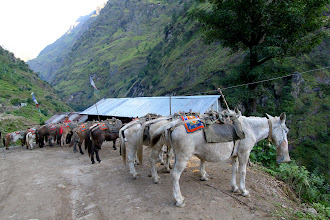 Photo: Our pack mules