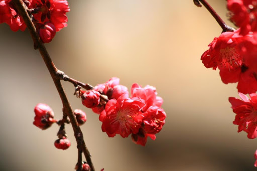Peach Blossoms Wallpapers - HD