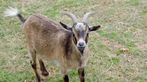 No Goats, No Glory thumbnail