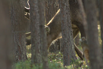 Photo: Reindeer - they disappear into the woods fairly quickly
