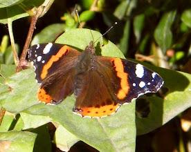 """Photo: Le Vulcain (Vanessa atalanta) recharge ses """"batteries"""" au soleil de novembre posé sur une feuille de troène - 24.11.2015 - 12 h - 8° à l'abri - moins 2 à 5 h - Il y a plusieurs semaines que ce papillon a élu domicile dans mon jardin !"""
