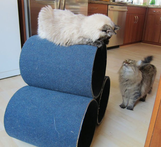 Photo: I made a new cat condo, and Suki won the race to get on top of the top tube.  Mambo could only watch.