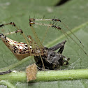 Cobweb Spiders