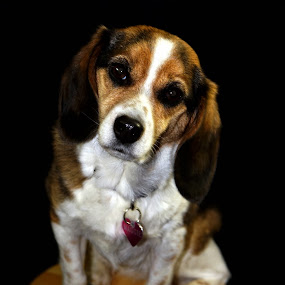 Enough Already by Ivan Cohene - Animals - Dogs Portraits ( #beagles, #dogs, #maggie, #companion, #cuddly )