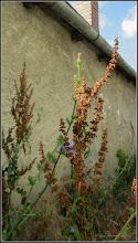 Photo: Știr (Amaranthus retroflexus) - de pe Str. Salinelor, 15 - 2017.06.29