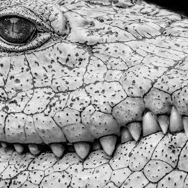 croc mono by Dirk Luus - Black & White Animals ( crocodile, predator, monochrome, animal, wildlife )