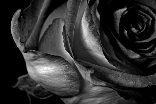 An old rose di DVD2005
