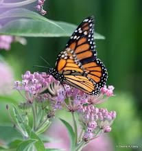 Photo: Monarch and swamp milkweed