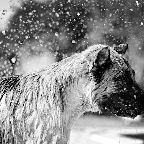 Rema - german shepherd by Hanna Králíková - Animals - Dogs Portraits
