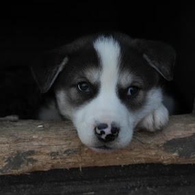 Future sleddog by Ricky Friskilæ - Animals - Dogs Puppies ( sled dogs, husky, north, dog, norway )