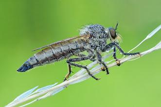 Photo: Machimus atricapillus  http://lepidoptera-butterflies.blogspot.com/